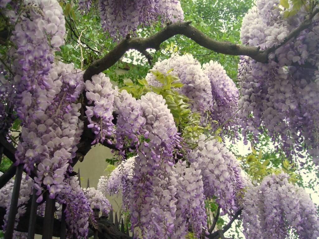 Чеснок который цветет фиолетовыми цветами