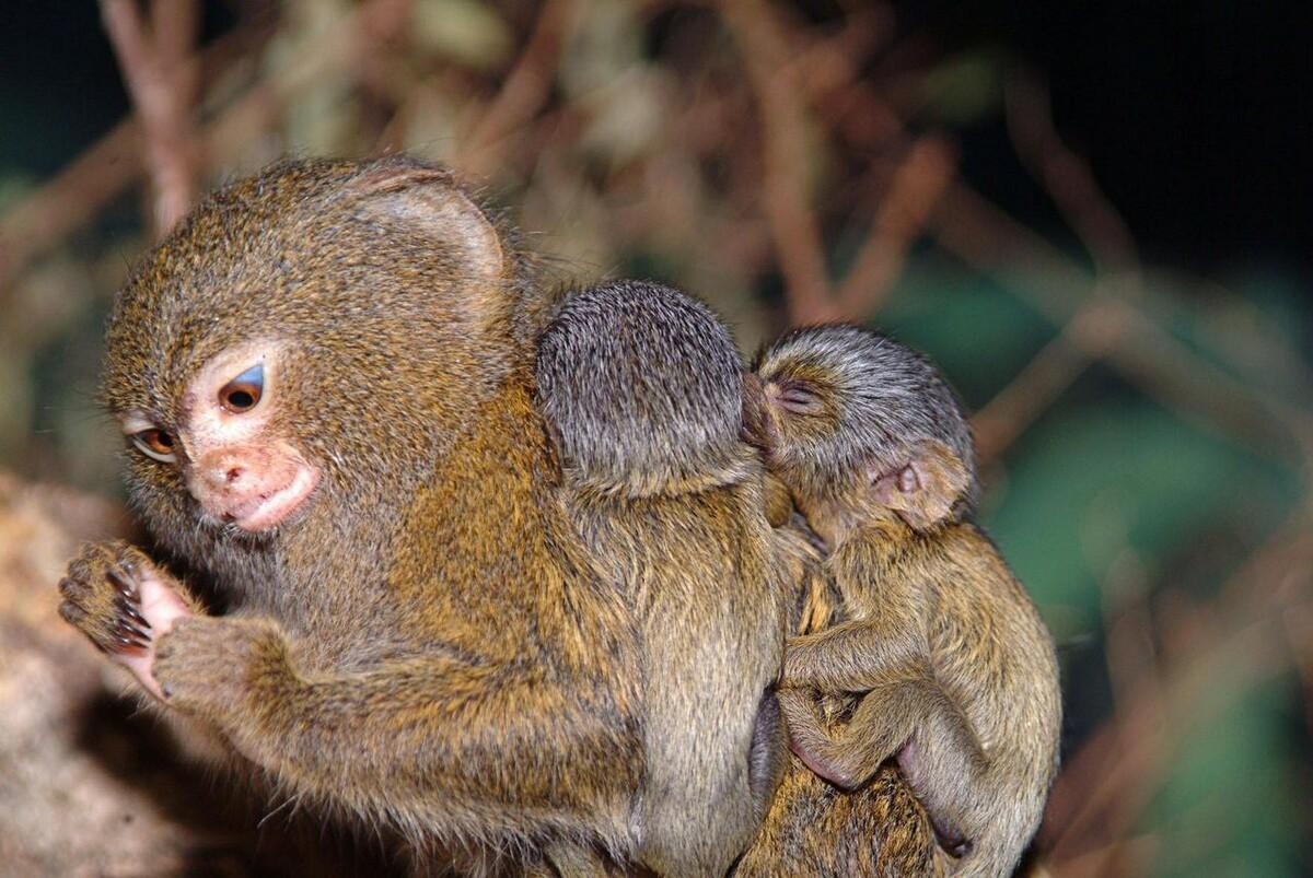 обезьянка мармозетка цена