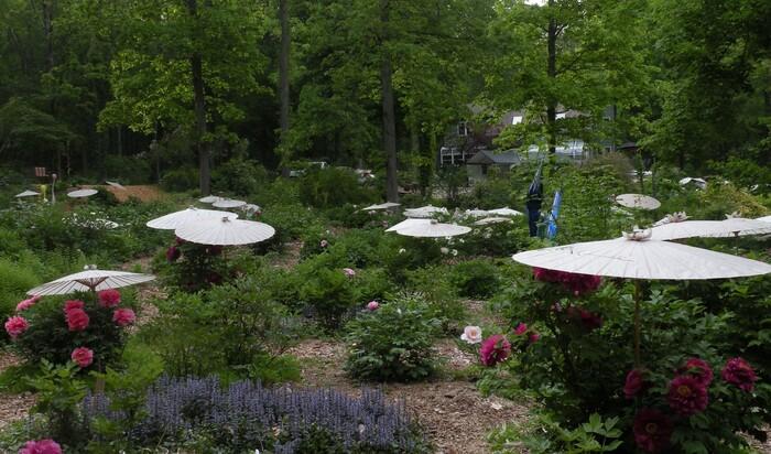 Богатейшая коллекция пионов в ботаническом саду Крикет-Хилл