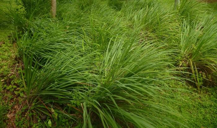Растения как природные репелленты: избавят от насекомых