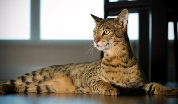 Пять самых дорогих кошек, покупка которых сравнится с машиной