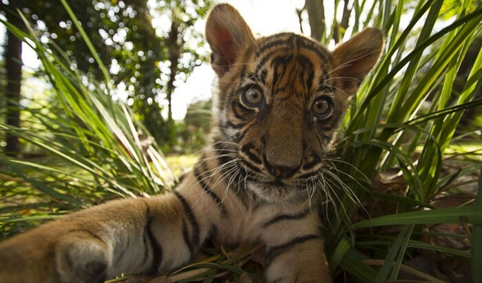 6 причин, почему стоит завести тигра в качестве домашнего животного