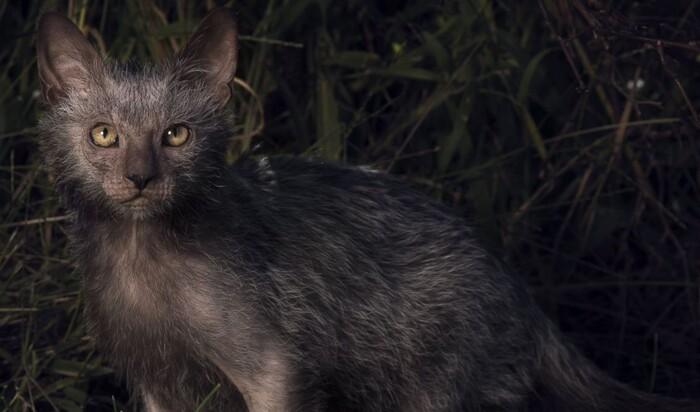 А вы бы завели себе кошку, похожую на оборотня? Новая порода Lykoi
