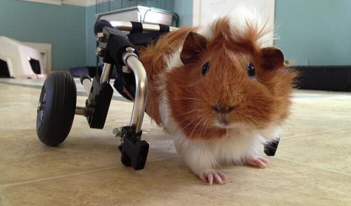 Инвалидная коляска для морской свинки: полноценная жизнь питомца-инвалида