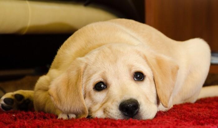 Самая грустная собака в мире завоевала тысячи сердец