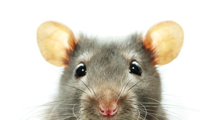Как избавиться от мышей в доме? Решаем проблему, обратившись к профессионалу.