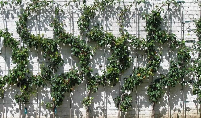 Шпалера поможет «усмирить» растение и вырастить его на свой вкус