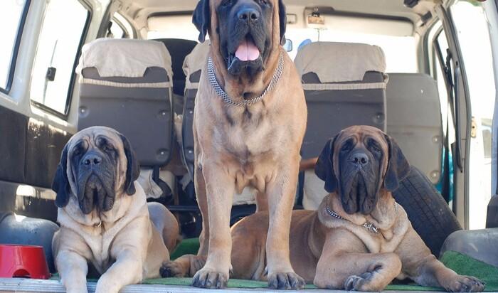 Содержание крупных пород собак в доме и на улице