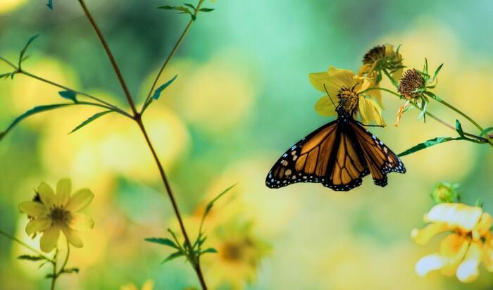 Прекрасное рядом: как привлечь в свой сад бабочек