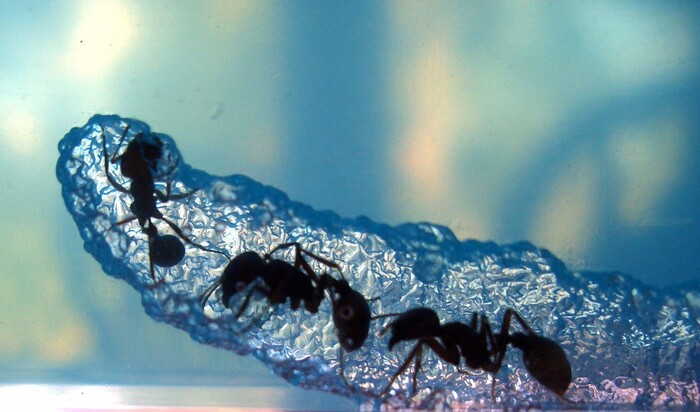 Муравьиная ферма: каких муравьев выбрать для формикария