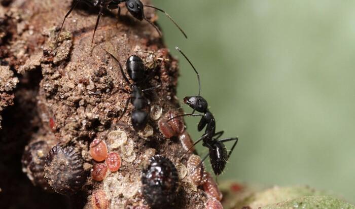 История муравьиных ферм: кому пришло в голову заводить муравьев как домашних питомцев?