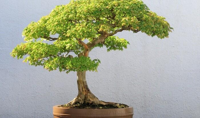 Бонсай для начинающих: уход за миниатюрным деревом
