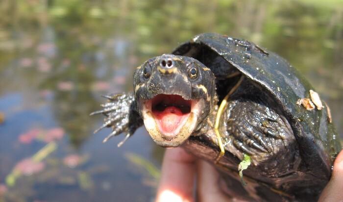 Содержание рептилий дома: оборудование аквариума для мускусной черепахи