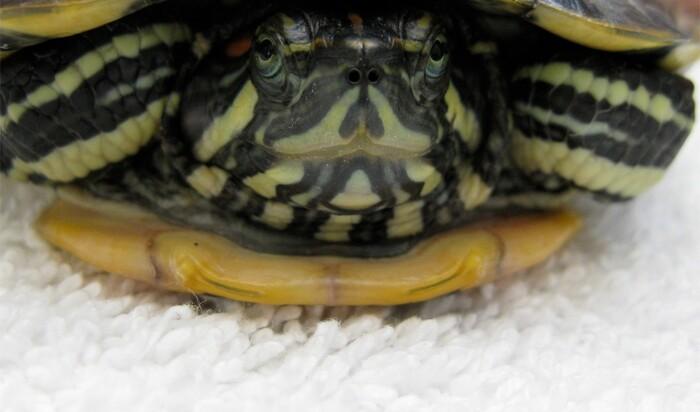 Каких черепах можно завести в качестве домашнего животного