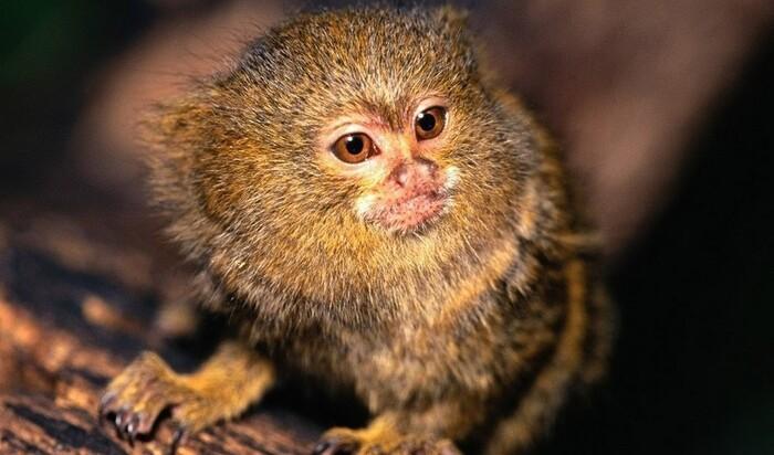 Мармозетка: жизнь под одной крышей с крохотным приматом