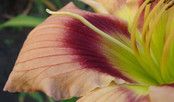 Лилейник или красоднев - цветок радости у вас в саду