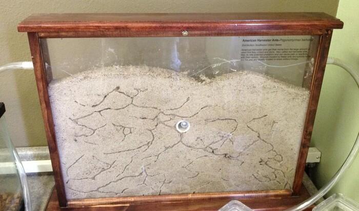 Уход за домашними муравьями: питание, содержание и меры предосторожности