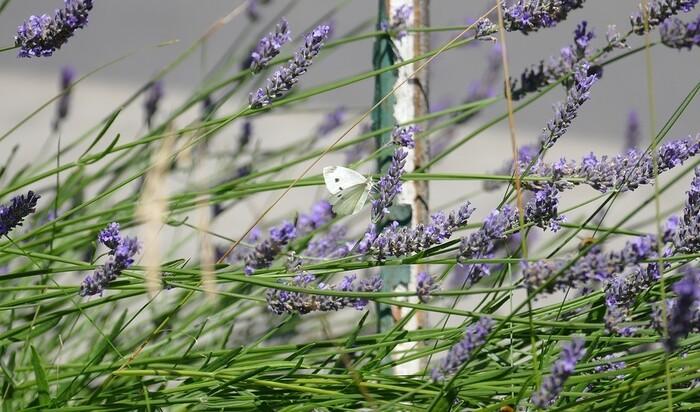 Посадка  лаванды и уход за этой ароматной красавицей: на окне и в саду
