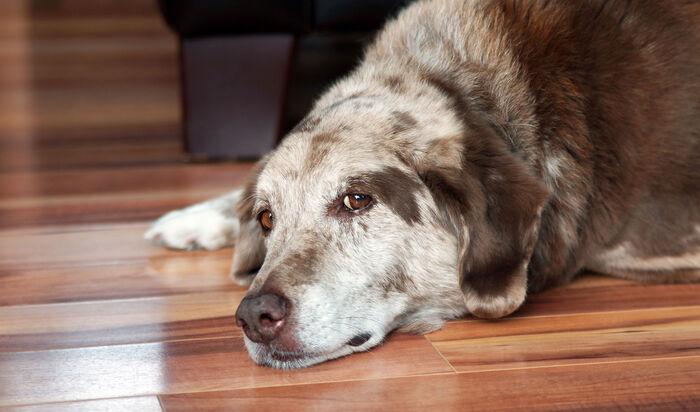 Эвтаназия домашнего любимца: когда приходит время прощаться с собакой?