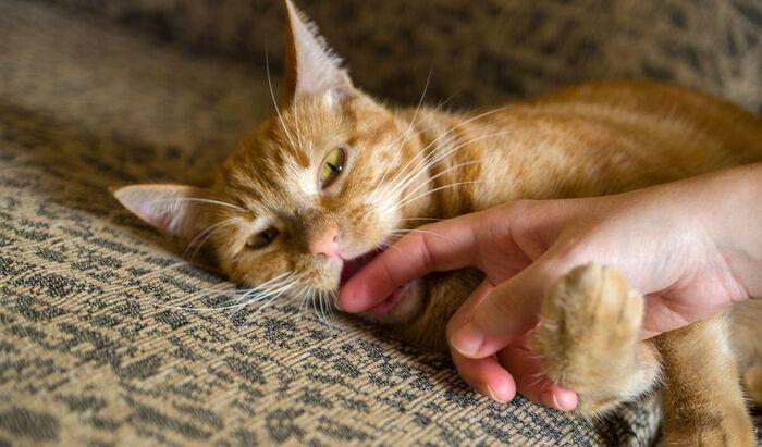 Как отучить котёнка кусаться? Советы для хозяев