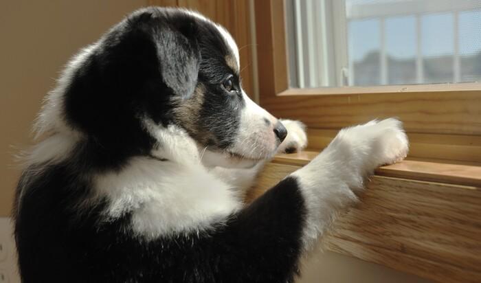 Сепарационная тревога и боязнь разлуки у собак: как бороться?