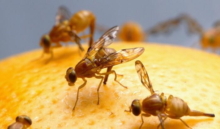 5 умных способов убить плодовых мушек