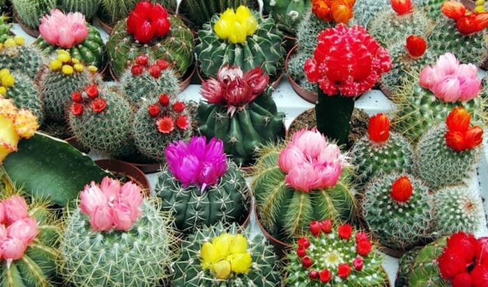 Правила ухода за пустынными и тропическими кактусами