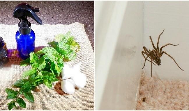 Как избавиться от пауков в доме? Сделать эффективный спрей от пауков своими руками!