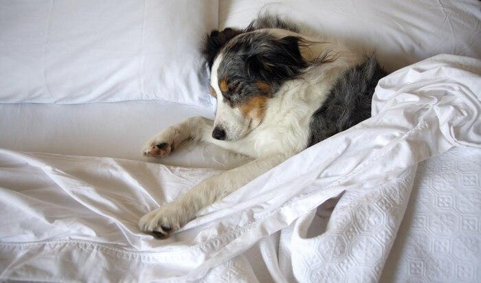 Можно ли разрешать собаке или кошке спать в вашей постели?