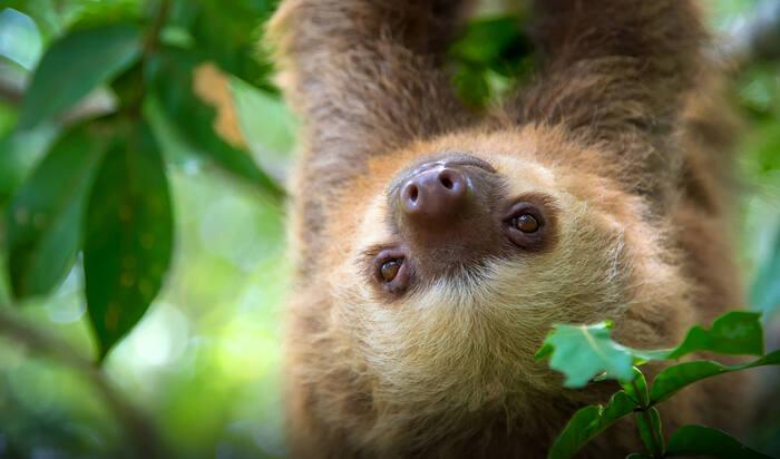 Ленивцы в качестве домашних животных: что нужно знать будущему хозяину?