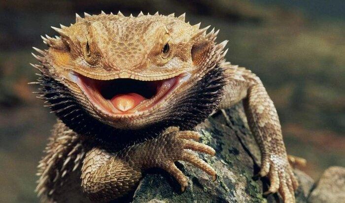 Бородатая агама: маленький дракон в вашем доме