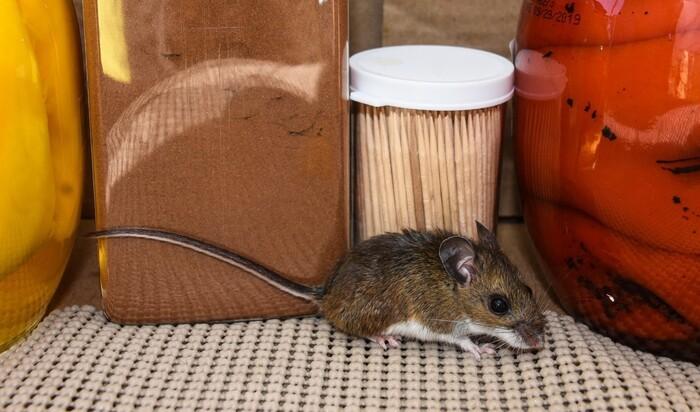 Как избавиться от крыс навсегда, следуя этим советам?