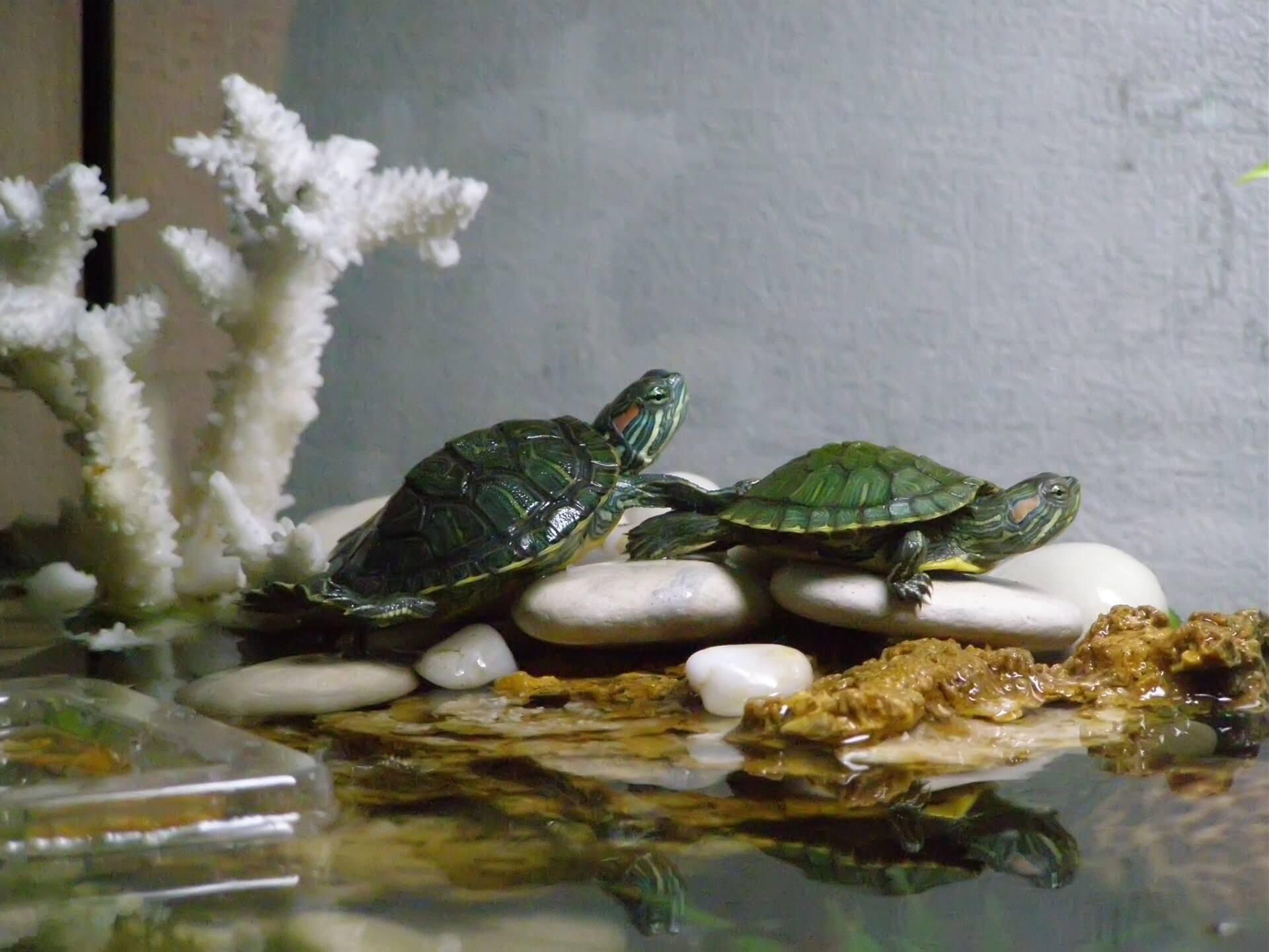 картинки аквариума для черепашки вам попробовать клафути