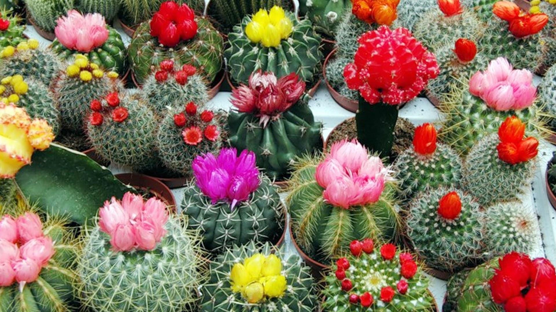 Цветение кактусов в домашних условиях: фото, как заставить 60