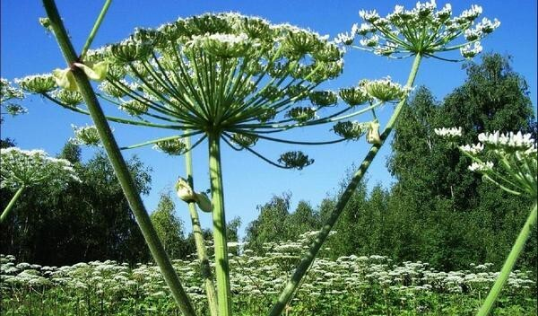 Ядовитые растения на даче. ТОП-10 опасных растений